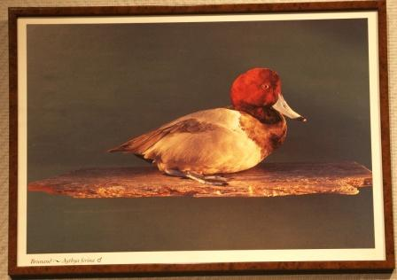 Depicting a male pochard/Aythya ferina